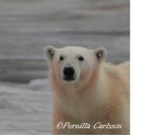isbjørnportrett.jpg